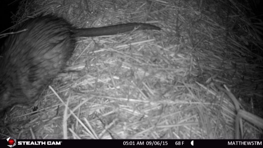 Muskrat - nocturnal activity