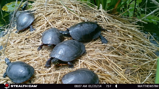 Eastern Painted Turtles enjoy the protective easy to access platform and sun themselves often, individually or in groups.